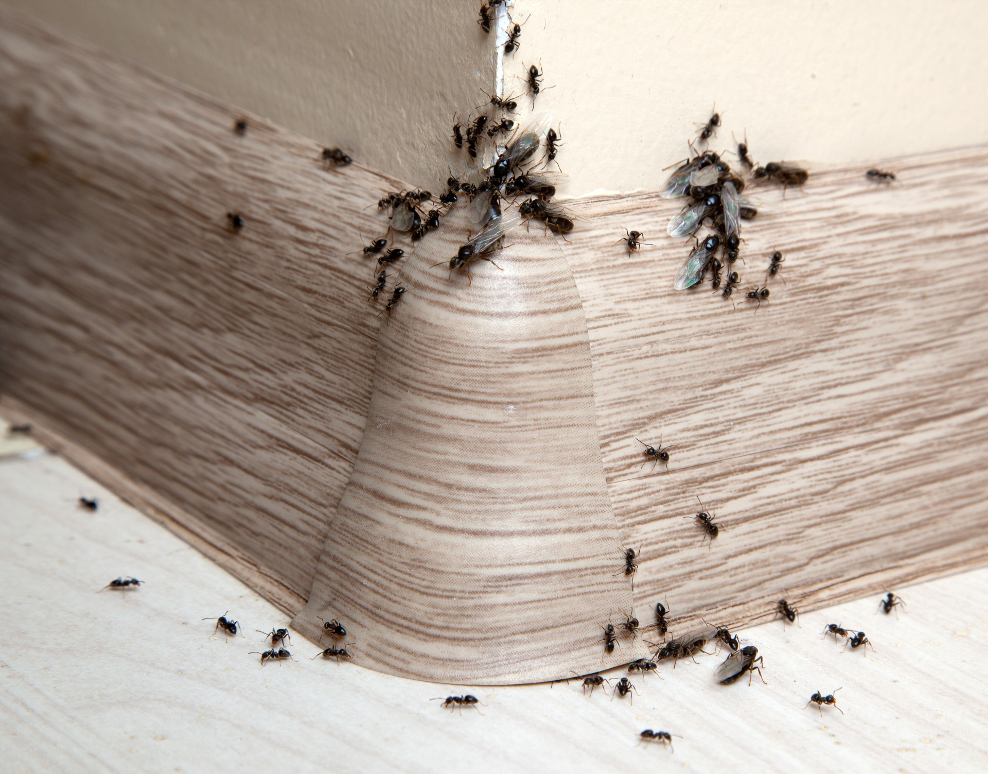 Ant Infestation, Pest Control in Cheshunt, Waltham Cross, EN8. Call Now 020 8166 9746
