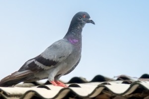 Pigeon Pest, Pest Control in Cheshunt, Waltham Cross, EN8. Call Now 020 8166 9746