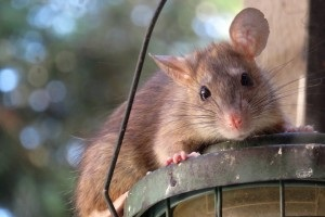 Rat extermination, Pest Control in Cheshunt, Waltham Cross, EN8. Call Now 020 8166 9746