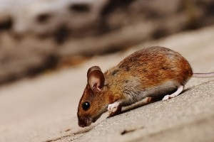 Mice Exterminator, Pest Control in Cheshunt, Waltham Cross, EN8. Call Now 020 8166 9746